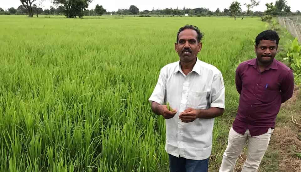 Organically grown traditional paddy and embankment crop turmeric help Muthukrishnan and Prem Anand sustain agriculture in saline land (Photo by Kevin Samuel)