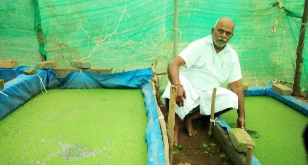 Aquatic fern azolla, a popular choice as cattle feed, is being promoted strongly by the Tamil Nadu state government (Photo courtesy Jaganathan)
