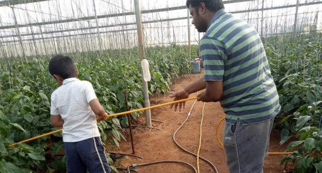 Anamaiah Gowdu, who quit his corporate job and modernized his ancestral farm, checking on pesticide spraying operation in his greenhouse capsicum farm (Photo by George Rajashekaran)