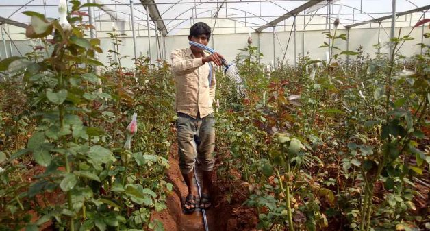 As part of hi-tech cultivation, a worker washes rose plants growing in a poly house, to keep them cool (Photo by George Rajashekaran)
