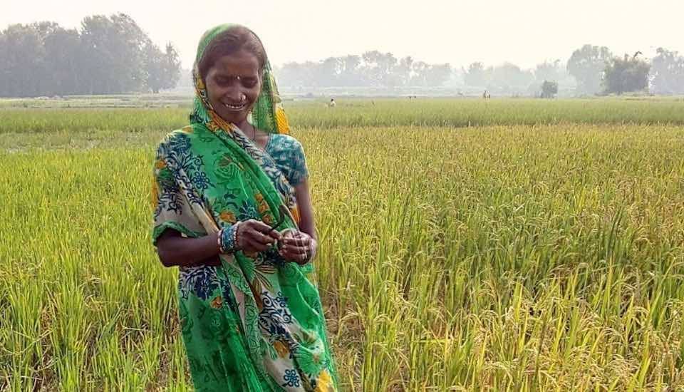 Sohabati Devi looks at her BINA rice crop that recovered from a devastating flood and is ready for harvest (Photo by IRRI India)