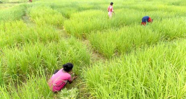 Bengal farmers conserve heritage rice against climate vagaries