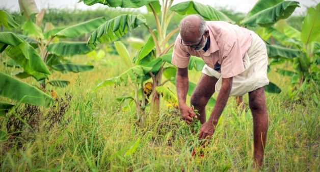 A food forest in the development phase, where farmer Thangavelu has been able to harvest a better yield from ground crops (Photo by Balasubramaniam N.)
