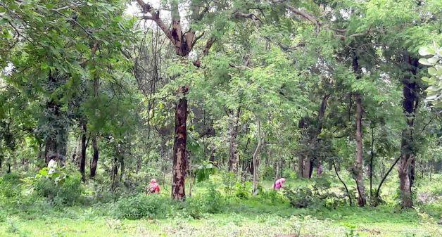 A fully developed Aranyaani food forest in Madhya Pradesh (Photo courtesy Sandeep Saxena)
