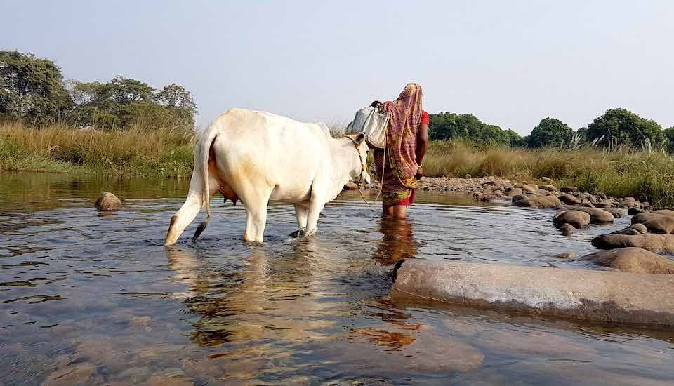 A woman crosses the Burhabalang River with her cow to avoid a 7km circuitous route (Photo by Manish Kumar)