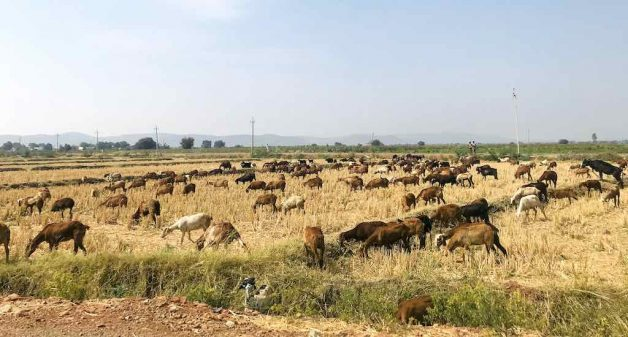 On an average, one head of cattle needs 5 kg fodder a day. District officials are procuring fodder from farmers at a cost of Rs 6,000 per ton to run cattle and fodder camps in drought-hit blocks of the state (Photo by Nidhi Jamwal)