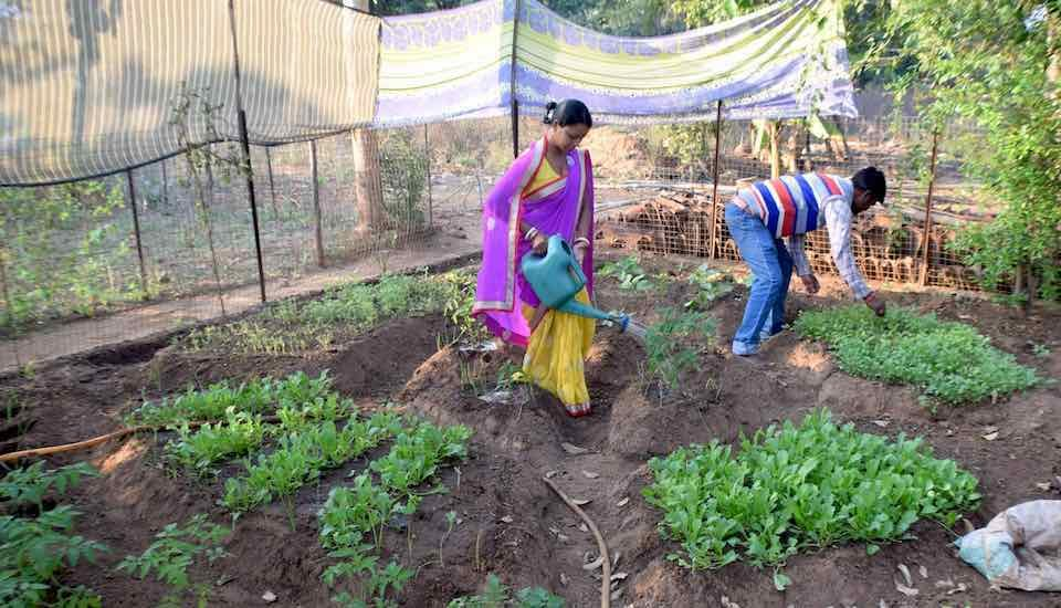 Nutrition gardens, such as the one cultivated by Alladini Bhanda and her husband Ashok in Ratanpur village, supply diverse and nutritious vegetables at no cost (Photo by Basudev Mahapatra)