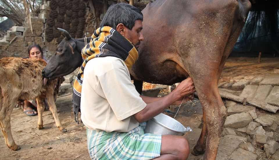 Dairy farming could yield rich dividends in the central and eastern tribal belts in the country (Photo by Flickr)