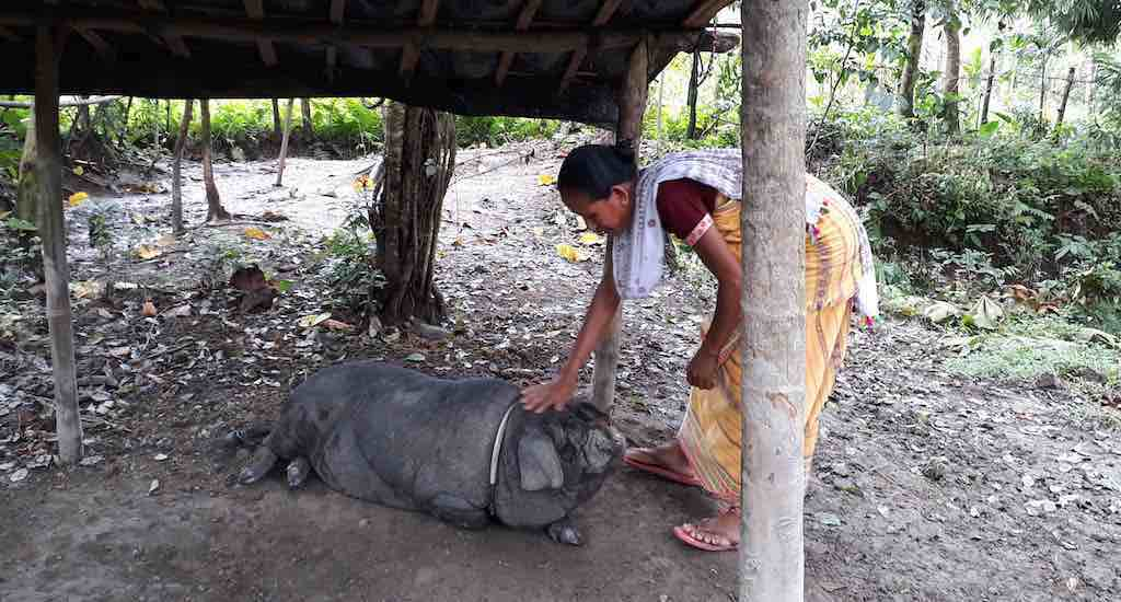 Anima Basumatary, who lives near the national park and used to depend on the forests, now earns by rearing pigs (Photo by Abdul Gani)