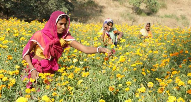 Women farmers who grow flowers harvest them for three months, increasing their household income (Photo by Manish Kumar Shukla)