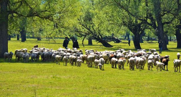 Merino sheep breeding helps maintaining a healthy stock and boosts wool and meat production (Photo by Athar Parvaiz)