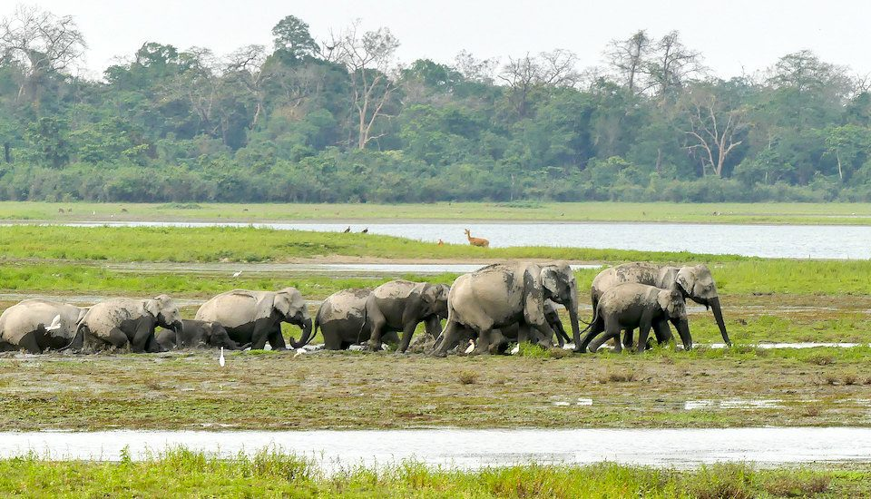 Large herds of elephants destroy paddy crops in Assam every year before harvest (Photo by Mike Pence)