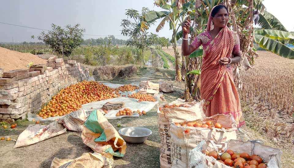 Gautam Bera's wife is happy with the tomato harvest. Although farm productivity has increased after land shaping, local farmers are now facing challenges in tackling pest infestation (Photo by Dhruba Das Gupta)