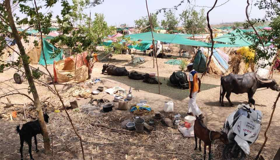 Fodder camps set up by the government and private organizations provide fodder and water and prevent distress sale of cattle by farmers (Photo by Varsha Torgalkar)