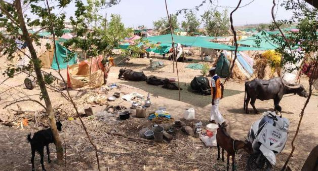 Fodder camps save cattle during Maharashtra drought