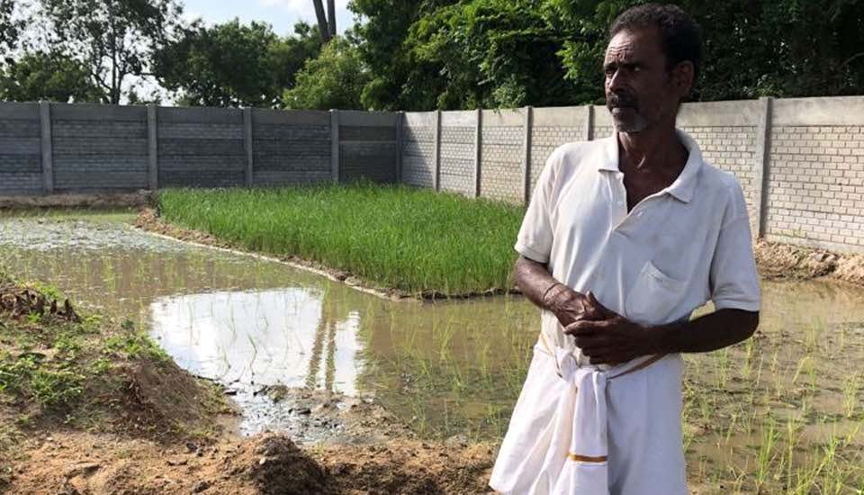 With the native Thooyamalli paddy saplings ready for transplantation, Govindasamy believed everything was under control (Photo by Sathya Anbajagane)