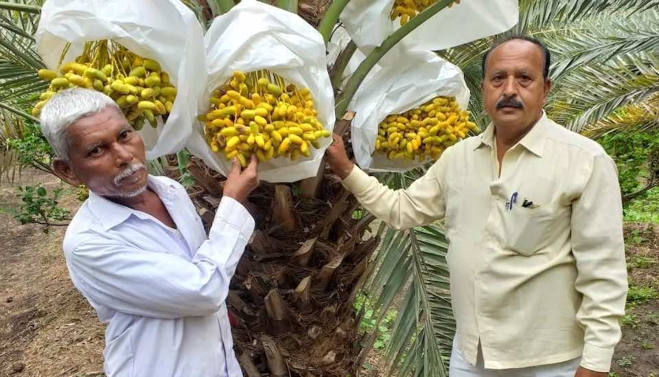 With the climatic conditions suited for date palms, farmers like Rajendra Deshmukh (right) have started growing dates from Kutch in Maharashtra's Solapur (Photo by Hiren Kumar Bose)