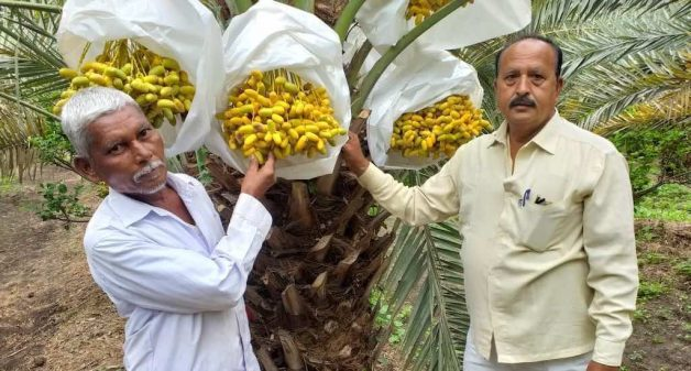 Date palms make profitable entrance in Solapur