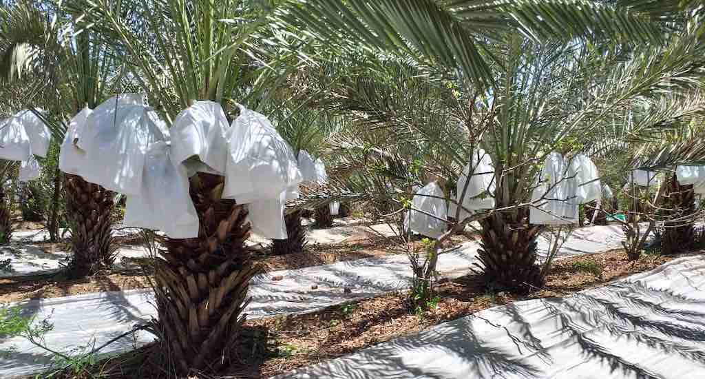 Fruit bunches of the date palm are covered in plastic bags to protect them from unseasonal rains (Photo by Hiren Kumar Bose)