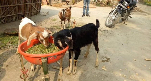 Trainings have helped the women learn about providing better feeds for their goats (Photo by AKRSPI)