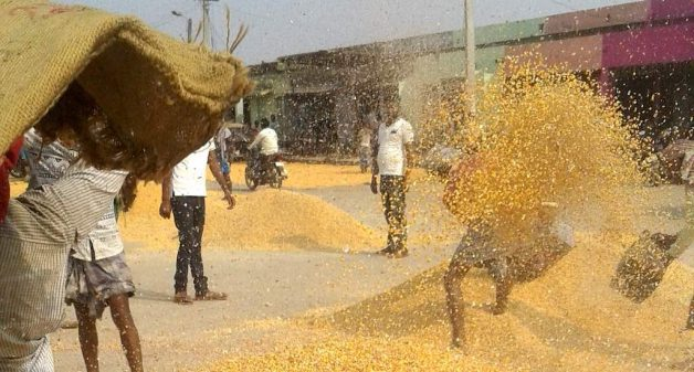 Maize loses sheen for Bihar's farmers