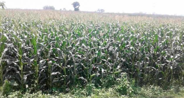 Maize farms like the one in Gachpada Naya Tola village are a common site across the Seemanchal region through the year (Photo by Mohd Imran Khan)