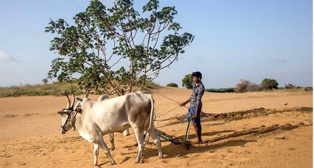 Farmers in the area are desert cultivators now, whose tractors and and bullock carts leave deep furrows in the sand (Photo by Rahul M.)