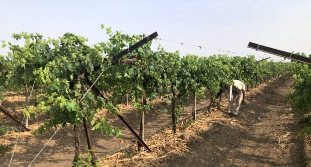 A Kadwanchi vineyard being watered through drip irrigation and with the roots covered by straw to minimize evaporation (Photo by Joydeep Gupta)