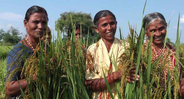 The revival of folk rice has seen enthusiastic participation from women farmers (Photo by Sahaja Samrudha)