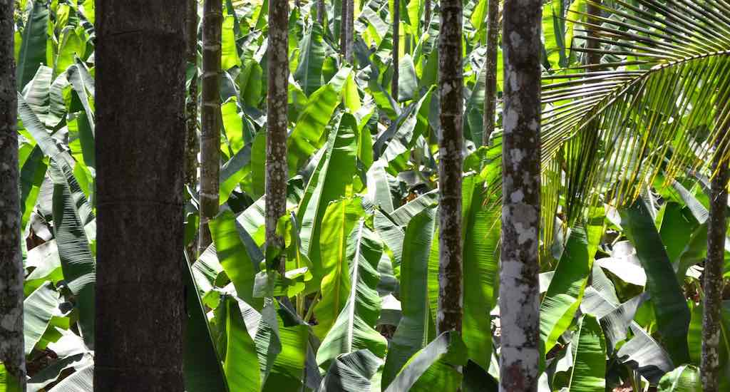 Banana plantations in Wayanad are slowly going downhill due to the erratic weather (Photo by Vishaka George)