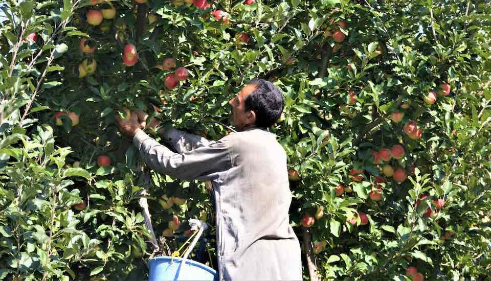 Apple growers in Kashmir are worried that they will suffer losses in the ongoing harvesting season due to restrictions on transportation and communication (Photo by Athar Parvaiz)