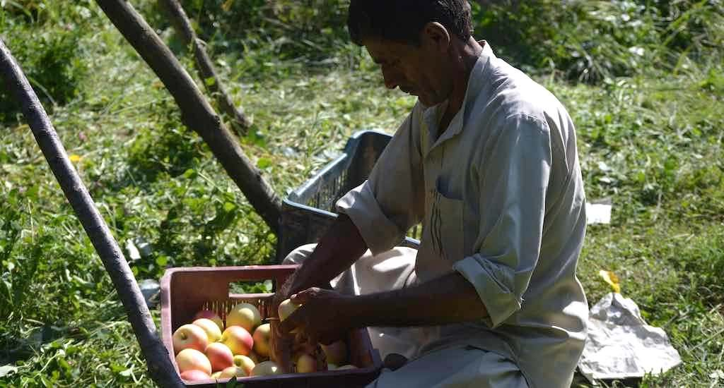 Lack of cold storage facilities has also made it difficult for farmers to sell their apple and pear harvests (Photo by Athar Parvaiz)