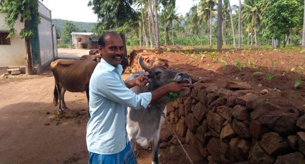 Cattle farmers like Sakthivel find ethno-veterinary medicine more economical and effective for their livestock in controlling diseases (Photo by Catherine Gilon)