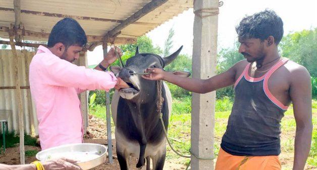 Prabhukumar administers ethno veterinary medicine consisting of veldt grape and sugar to his cows (Photo by Catherine Gilon)