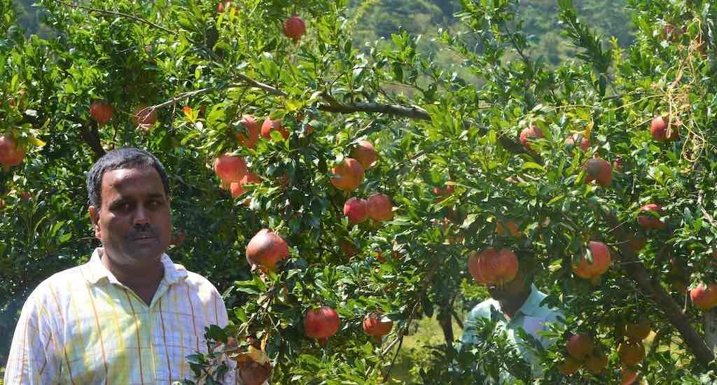 Himachal apples give way to pomegranates