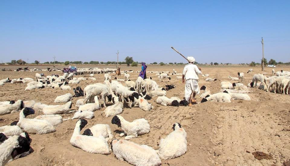 Sheep spread out on a barren stretch that was once a field of cumin (Photo by Namita Waikar)