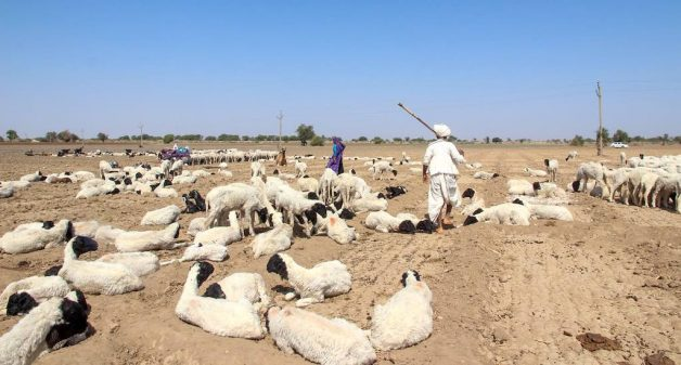Kachchh pastoralists struggle as grasslands shrink in Gujarat