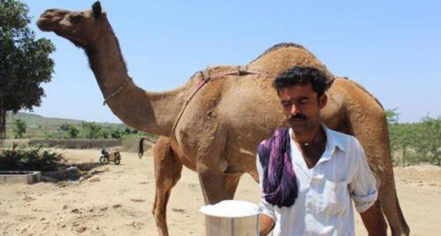Camel milk inspires hope for herders