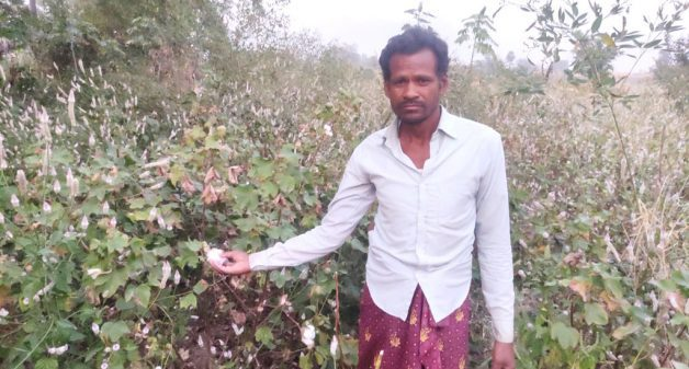 Cash crop cotton loses lustre for Ganjam farmers