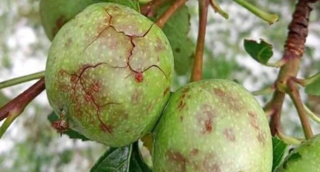 Extreme weather events destroy Himachal's apple orchards
