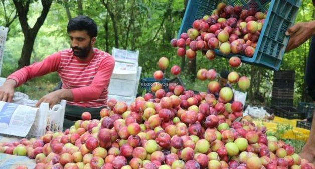 Kashmir's plum no longer a plum crop for farmers